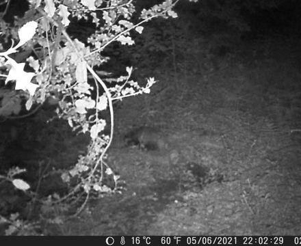 Dark badger